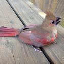 Northern Cardinal (male juvenile)