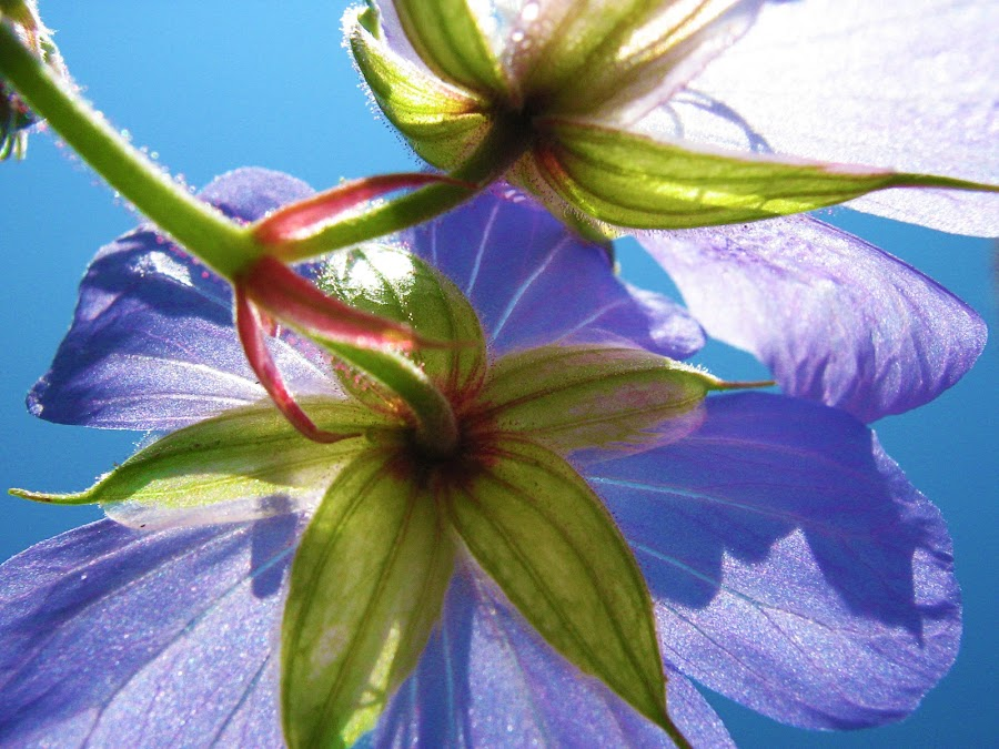 Behind flowers by Alexandra Rafaila - Flowers Flowers in the Wild ( wild, sky, nature, purple, blue, behind, sun, flower,  )
