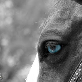 Blue eyes on Speed by Alicia McNally - Animals Horses ( horse, balck and white, blue eyes, western horsemanship, horse shows, cfe )