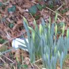 Daffodil or Jonquil
