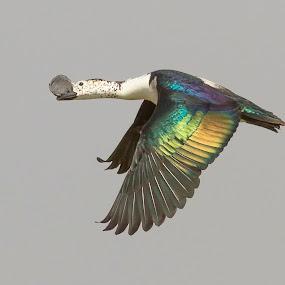by Vijayendra Desai - Animals Birds ( comb duck, surat, vijayendra )
