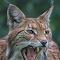 Eurasische Luchs - Nordluchs - Luchs - Lynx lynx 8O1A3482.jpg