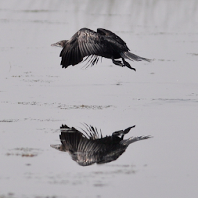 reflection by Ashutosh Singhvi - Novices Only Wildlife ( reflection, flying cormorant, cormorant, take off, in wild,  )