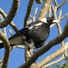 Australian Magpie (young male)