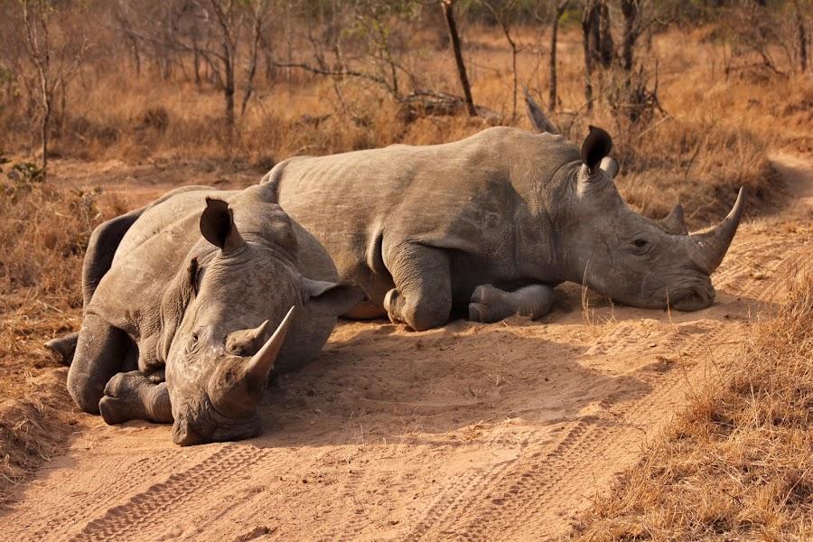 It's a hard life by Belinda Bailey - Animals Other Mammals ( #savetherhino, #tweetstormagainstextinction, #iam4rhinos, #rhinos, #wildlife,  )