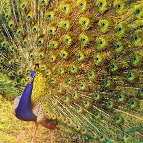 Mating call at Ranthambore by Avanish Dureha - Animals Other ( tiger, nature, rajasthan, dureha@gmail.com, wildlife, summer, india, wild cats, avanish dureha )