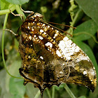 Jazzy Leafwing