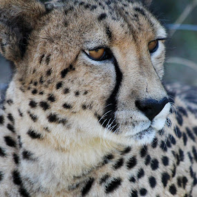 The Stare by Barbara Nolte - Animals Lions, Tigers & Big Cats ( cats, big cat, cheetah, endangered species, south africa, wildlife )
