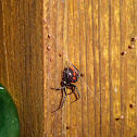 Black Widow (with spiderlings)