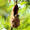 Thick billed flowerpecker in its nest