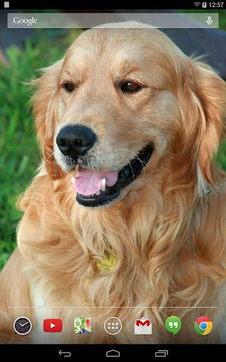 玩娛樂App|金毛尋回犬壁紙免費|APP試玩