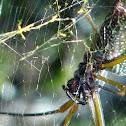 American Golden Orb-web Spider