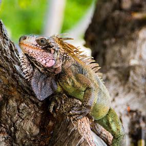 Iguana by Eddie Tuggle - Animals Reptiles ( tree, iguana, usvi, reptile, animal )
