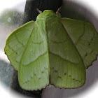 Sunda Green Vishnu Moth