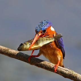 Malachite Kingfisher  Alcedo cristata  by Chris Krog - Animals Birds ( cristada, kingfisher, alcedo, malachite,  )