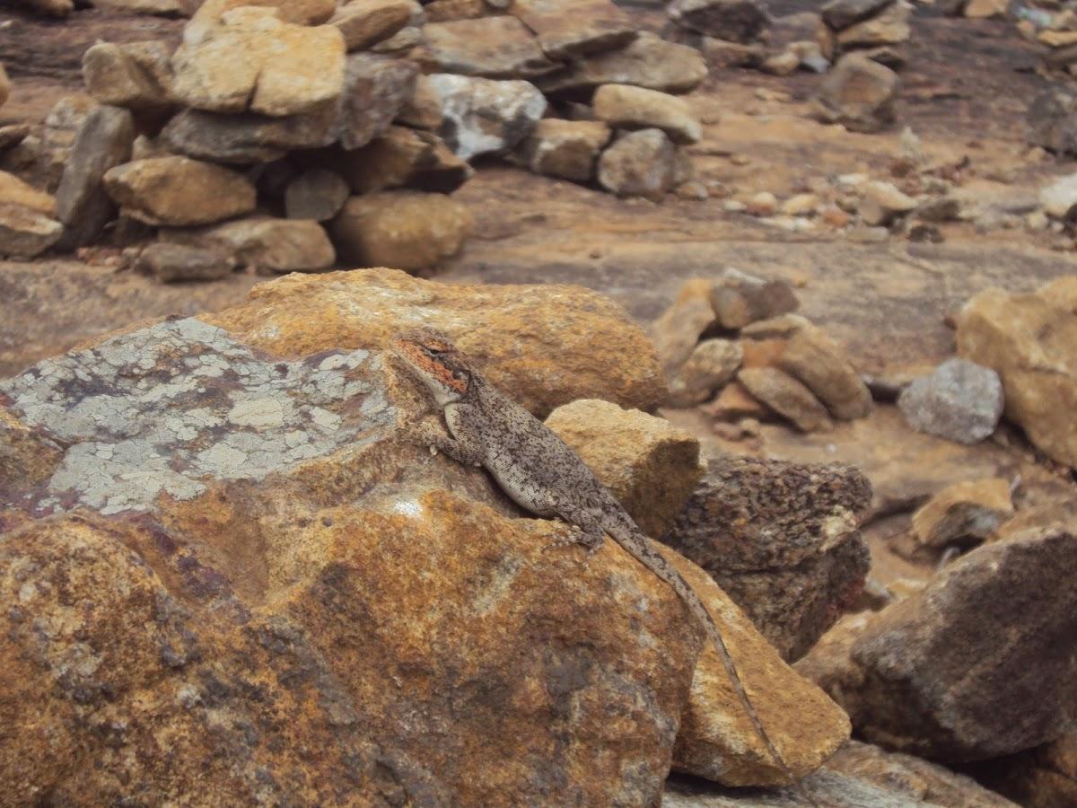 Peninsular Rock Agama(Female)