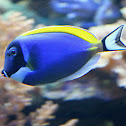 powder blue tang or powderblue surgeonfish