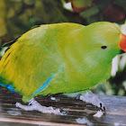 Eclectus Parrot ( Male)