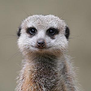 Meerkat Portrait.jpg
