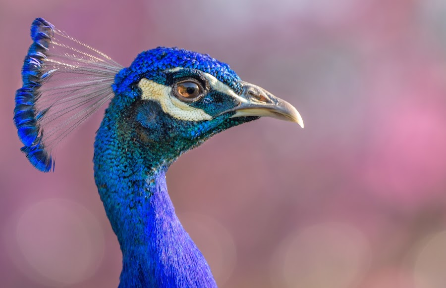 Male Peacock Selfie by William Sawtell - Animals Birds ( selfie, nature, blue, wildlife, beauty, male peacock, peacock )