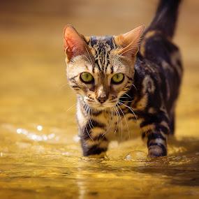 Creek Kitty by Beth Ann - Animals - Cats Portraits ( water, cat, pet, creek, stalk, yellow, bengal, kitty, portrait )