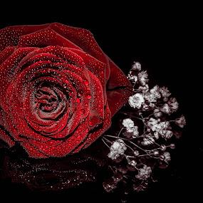 Rose Red by Lynnie Adams - Flowers Flower Arangements ( red and black, red rose, flower arrangement, flowers, velvet,  )