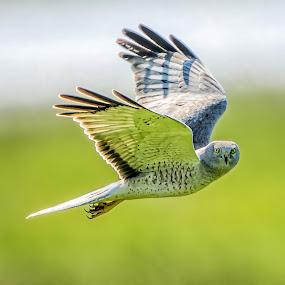Glance by Gary Davenport - Animals Birds ( northern, flight, glance, male, ghost, gray, eyes, harrier, bird, fly )