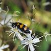 Oliekever, Blister beetle