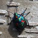 Cotton Harlequin Bug Nymph