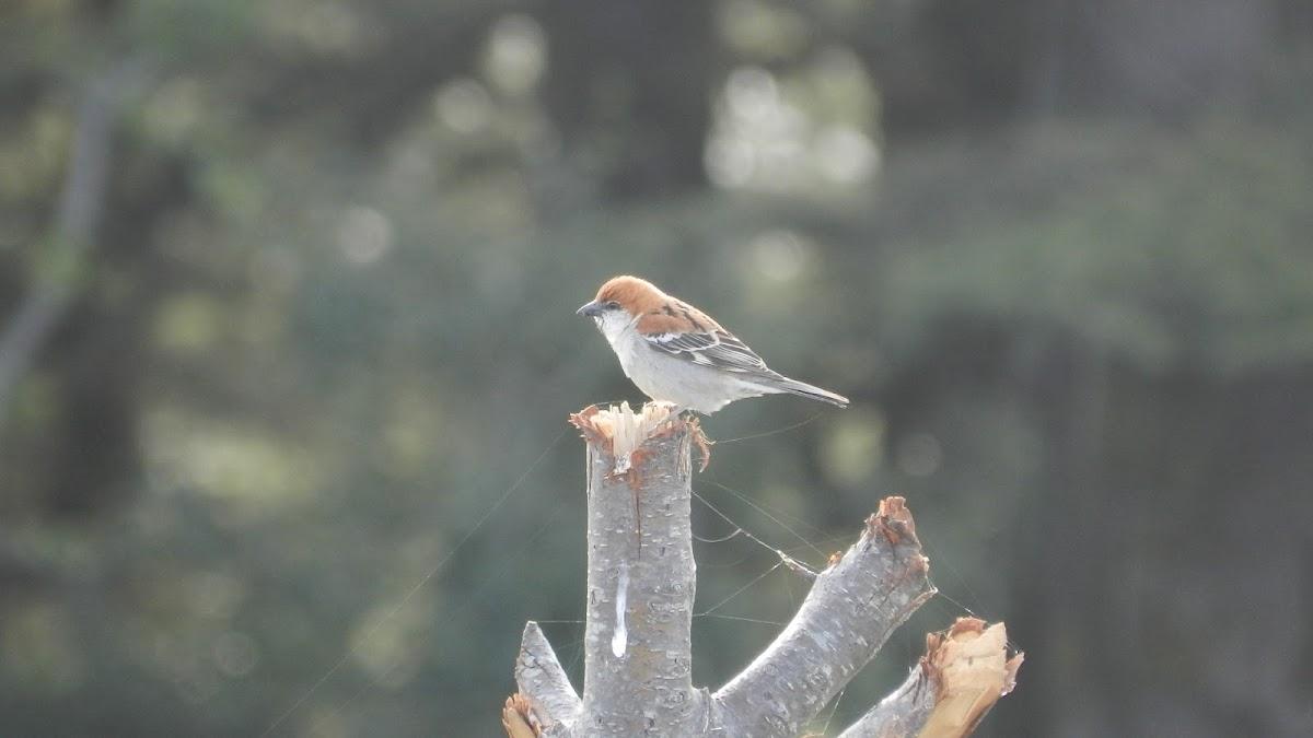 Cinnamon Tree Sparrow