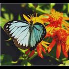 Blue Wanderer butterfly