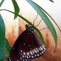 """Common Crow butterfly"" (Euploea core)"