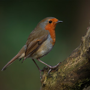 robin low vig 001.jpg