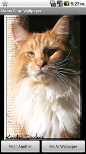 Maine Coon Wallpaper- screenshot thumbnail
