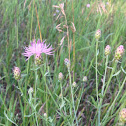 Spotted knapweed