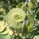 Tree medick. Alfalfa arbórea