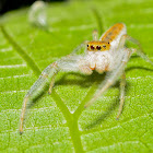 White Jawed Jumping Spider