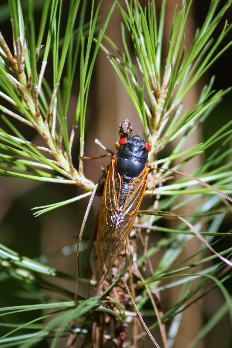 Periodical Cicada, 13 Yr, Brood XIX
