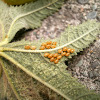 Stink bug´s eggs.