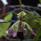 Slipper Orchid