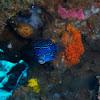 Reticulate box fish male