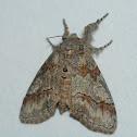 Northern Pine Tussock Moth