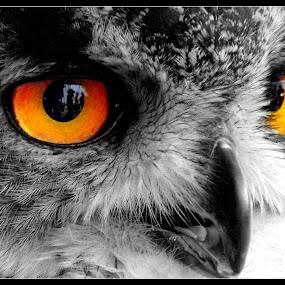 owl by David Walker - Animals Birds ( owl,  )