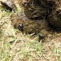 Earth-Boring Dung Beetles (Nicaragua)
