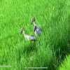 Asian openbill or Asian openbill stork