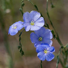 Blue Flax by Sandra Blair - Flowers Flowers in the Wild ( plant, flax, blue, wildflower, green, flower,  )