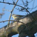 """Audubon's"" Yellow-rumped Warbler"