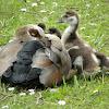 Egyptian goose (mom & babies)