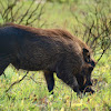dark common warthog
