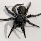 Blue Mountains Funnel Web Spider